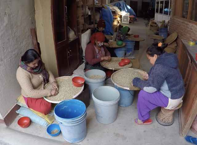 Nepali women hand sorting coffee beans to ensure only the highest quality beans are consumed.